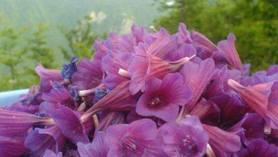 Photo of روش خشک کردن گل گاوزبان