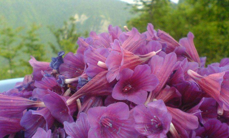 روش خشک کردن گل گاوزبان